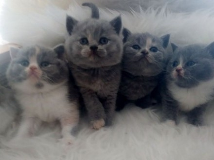 Zapowiedź miotu kotów brytyjskich Rodowody FPL/FIFE