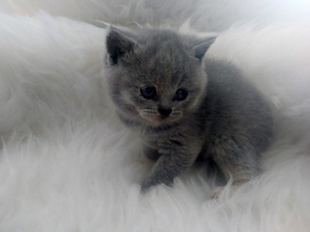 Zapowiedź miotu kotów brytyjskich. Rodowody FPL/FIFE