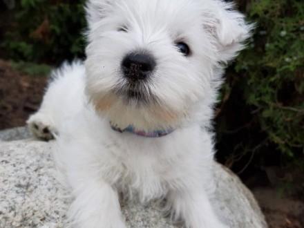 West Highland White Terrier - piesek z rodowodem ZKwP (FCI)