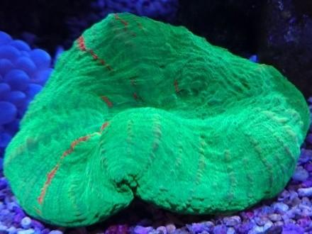 Scolymia australis koralowiec LPS do akwarium morskiego