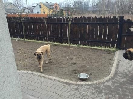 Pies i suczka Masti Angielski