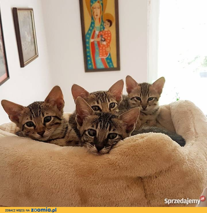 Savannah F4 - kocięta z rodowodem