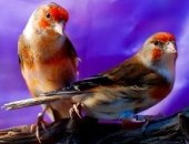 Ptaki śpiewajce : bastardy -kanarki-hybrydy