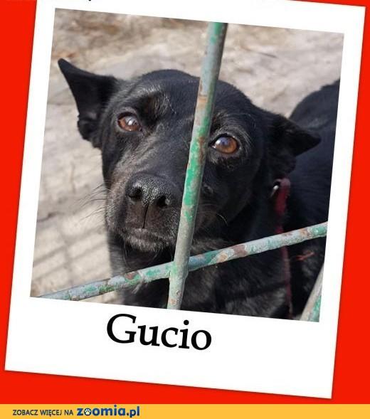 GUCIO,malutki 4 kg,2 letni psiaczek nakolankowo-rodzinny .Adopcja.,  łódzkie Łódź