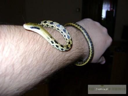 Węże Orthriophis taeniurus friesi