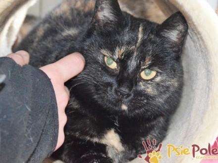 COSTA-piękna szylkretowa kotka szuka spokojnego domu  adopcja