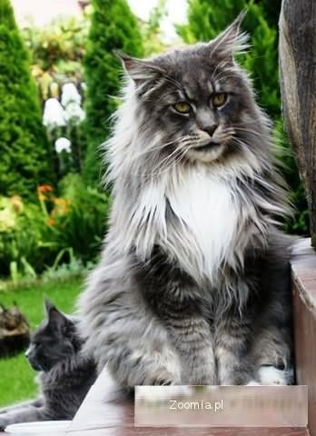 AKORD « Maine Coon « Koty « Archiwum :: Zoomia pl