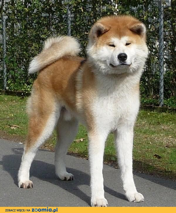 Nietypowy Okaz Psy, szczeniak, pies rasowy , ogłoszenia z hodowli pl 56 KU32