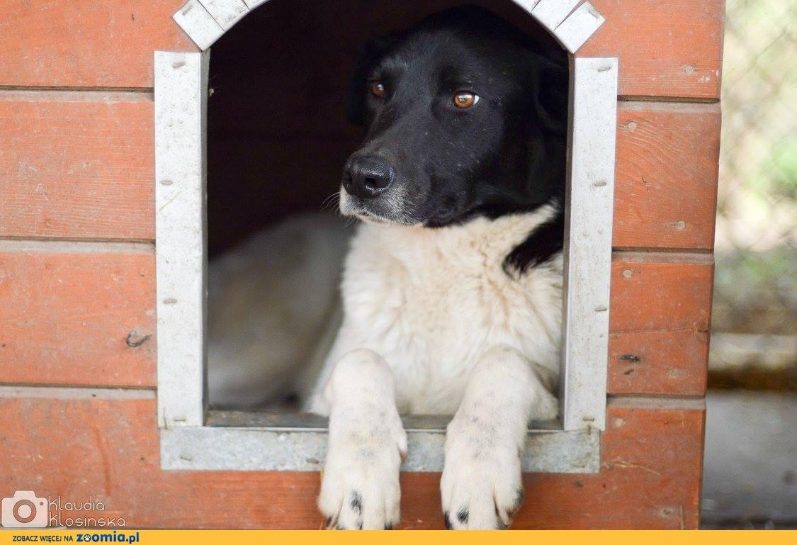 Apollo, cudowny, majestatyczny, niekonfliktowy pies