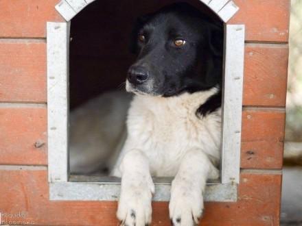 Apollo  cudowny  majestatyczny  niekonfliktowy pies