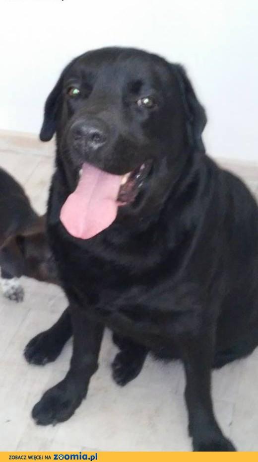 Labrador do adopcji poznan
