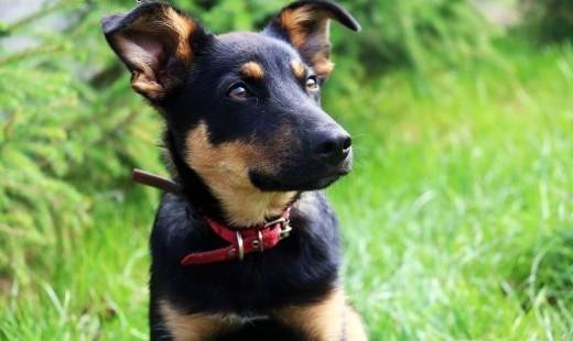 Frido - uroczy szczeniak szuka domu   mazowieckie Nowy Dwór Mazowiecki
