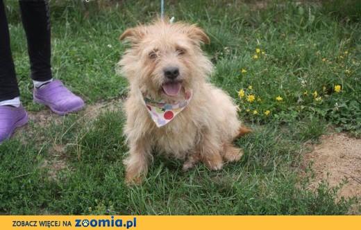 Malutki TOBI Norfolk Terrier do adopcji,  Teriery cała Polska