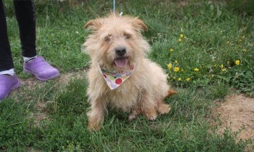 Malutki TOBI Norfolk Terrier do adopcji   Teriery cała Polska