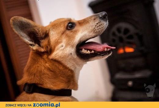TOFFIK - bardzo fajny i radosny pies :) zabierz go do domu jeśli tylko chcesz !,  małopolskie Kraków