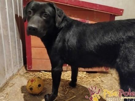 MODEL-Świetny mieszaniec labradora szuka aktywnego domu  adopcja
