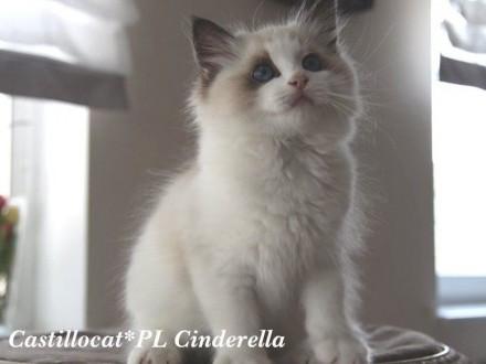Ragdoll kotka Cinderella