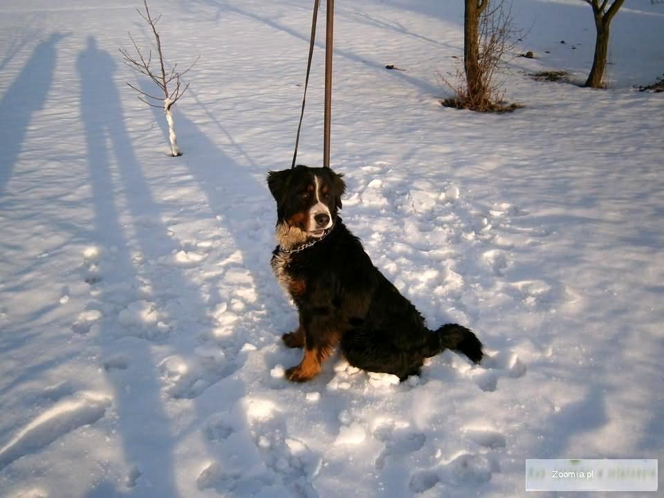 Berneński Pies Pasterski suczka z rodowodem