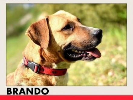 BRANDO średni przyjazny towarzyski wesoły pies amstaff mixADOPCJA   mazowieckie Warszawa
