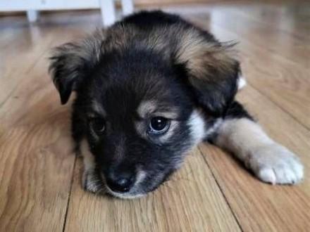 KRÓTKA, PASZCZA i ZEZEK – 3-miesięczne szczeniaki do adopcji,  małopolskie Kraków