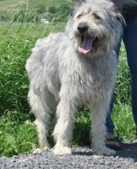 Wspaniały  piękny pies jak sznaucer olbrzym SCHRONISKO   małopolskie Kraków