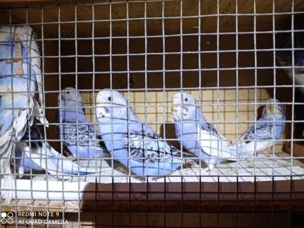 Papugi Faliste fiolety i szeki