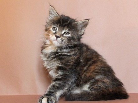 Śliczna koteczka Maine Coon po Chionie