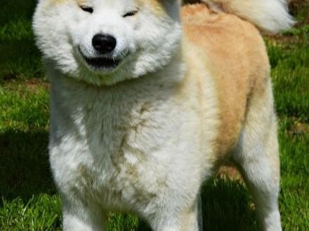 Akita Japońska - czerwone i białe szczeniętapo imporcie z Japonii