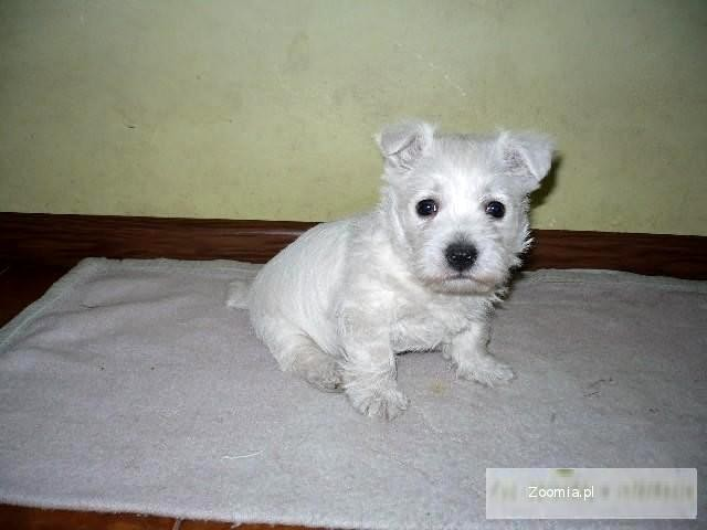 West Highland White Terrier Terier Westie