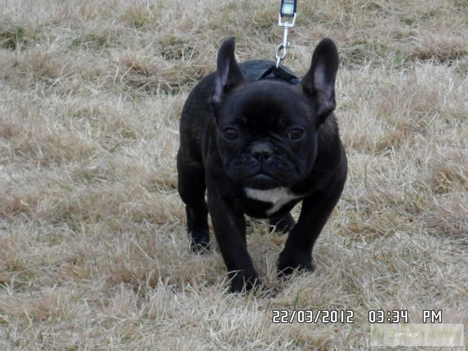 Buldożka Francuska Pręgowana Z Rodowodem Buldog Francuski Psy
