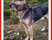 Dosyć duży,7 letni,typ owczarka,kontaktowy,szczepiony pies HUZAR_Adopcja_