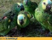 Amazonka Niebieskoczelna,  podlaskie Łomża