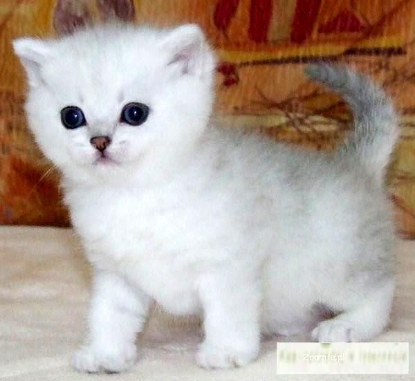 Brytyjski krótkowłosy kociak