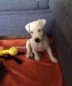 sprzedam suczkę jack russell terrier   kujawsko-pomorskie Bydgoszcz