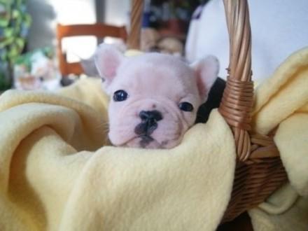 Śliczne i urocze szczeniaki Buldoga francuskiego na sprzed