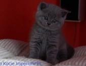 Piękne Kocięta Brytyjskie, Niebieskie i Liliowe