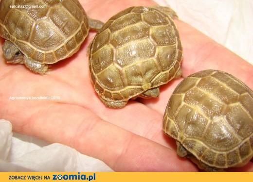żółwie stepowe CB15 z polskiej hodowli WAW/KRK,  Żółw stepowy cała Polska
