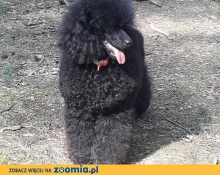 Pudel miniaturowy czarny szczeniak