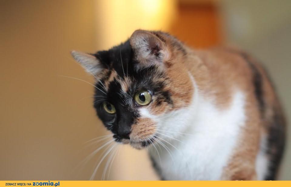 Trikolotowa kotka o pięknych, ogromnych zielonych oczach szuka domu