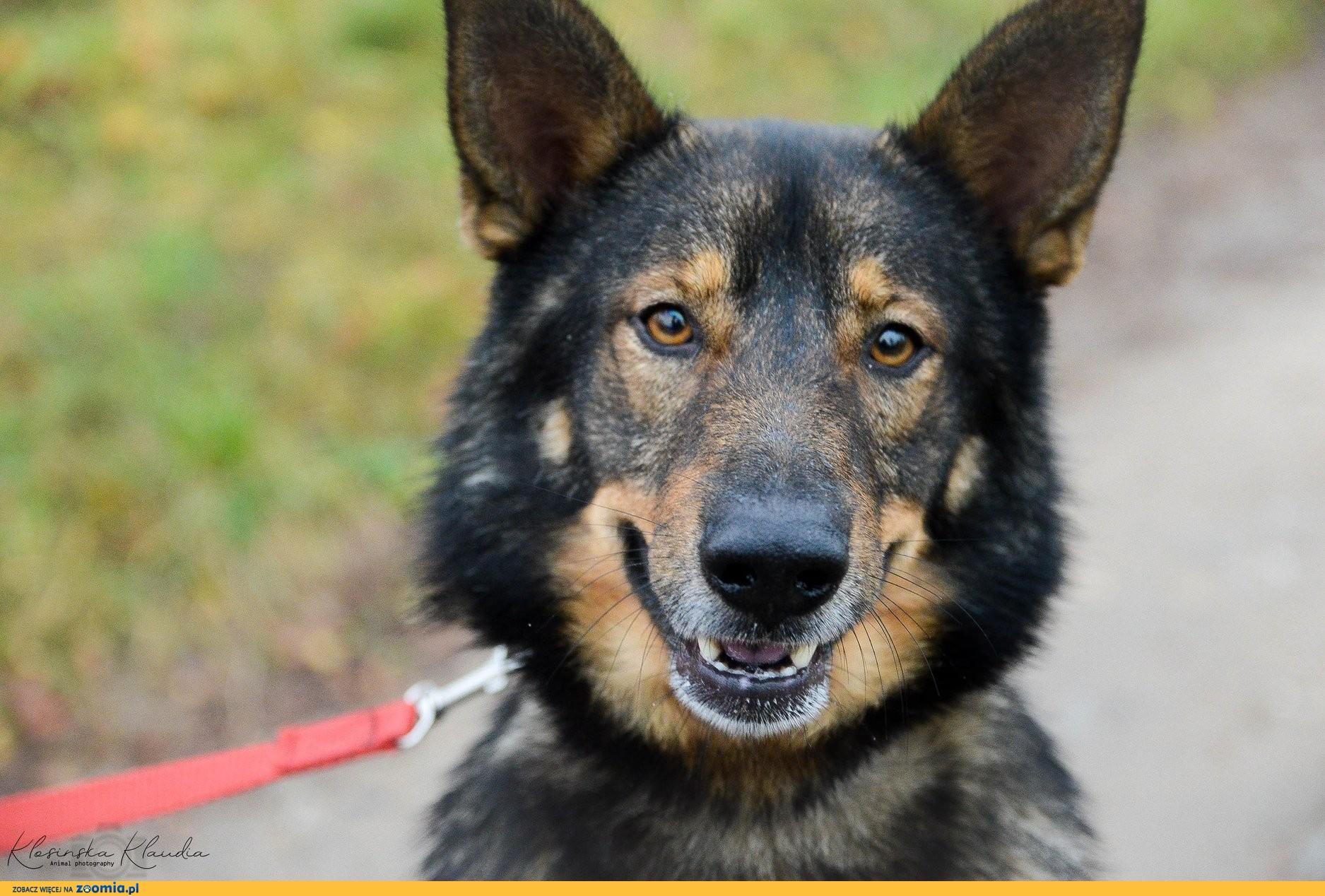 Irys, cudowny owczarkowaty pies odda Ci swoje serce!