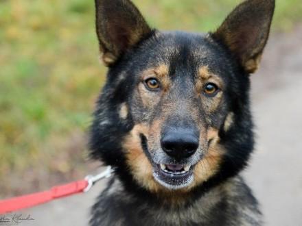 Irys  cudowny owczarkowaty pies odda Ci swoje serce!