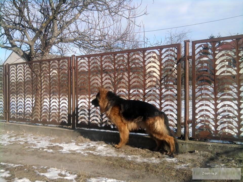Pies Owczarek Niemiecki długowłosy z lini Ursusa