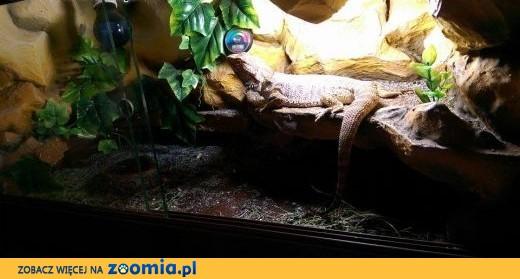 Agama brodata wraz z terrarium,  opolskie Opole
