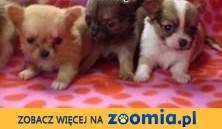 chihuahua miniaturowe pieski,  wielkopolskie Poznań