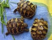 żółw,żółwik grecki 2019