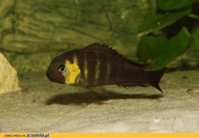 Tropheus brichardi Kabimba Canary Cheek