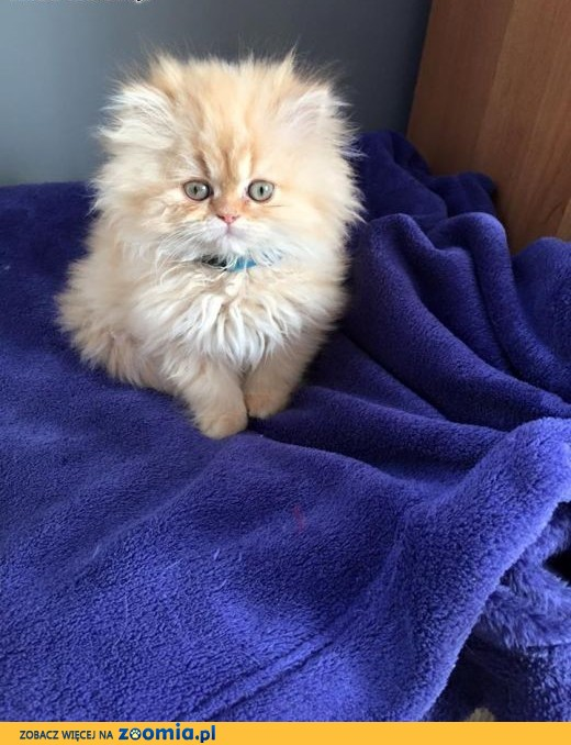 Wspaniały Kot perski, Pers - ogłoszenia z hodowli. Koty perskie / Zoomia.pl pl 1 UW67