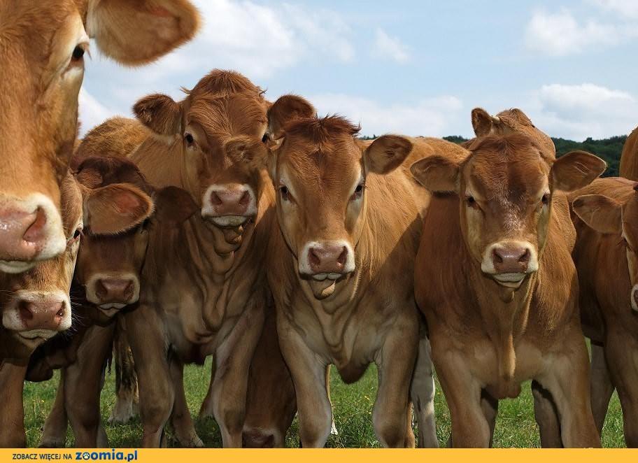Skup żywca-bydła i trzody