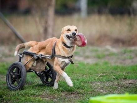 TOFFIK-mobilny zwierz  najszybszy na świecie pies
