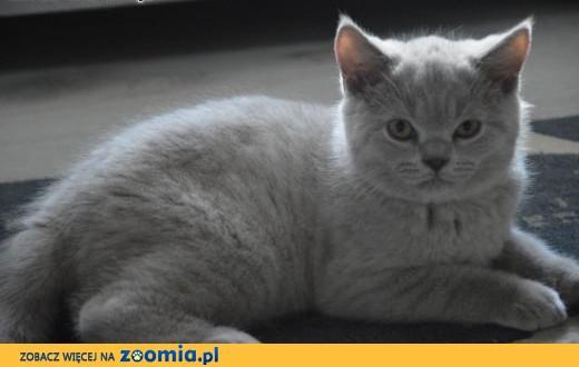 Liliowa koteczka z rodowodem FPL,  mazowieckie Płock